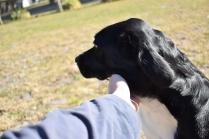 Ludo-Cavador-Banksia Park Puppies - 30 of 41