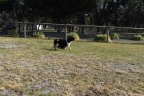 Ludo-Cavador-Banksia Park Puppies - 32 of 41