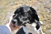 Ludo-Cavador-Banksia Park Puppies - 35 of 41