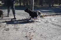 Ludo-Cavador-Banksia Park Puppies - 37 of 41