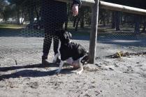 Ludo-Cavador-Banksia Park Puppies - 38 of 41