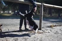 Ludo-Cavador-Banksia Park Puppies - 39 of 41