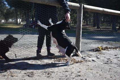 Ludo-Cavador-Banksia Park Puppies - 40 of 41