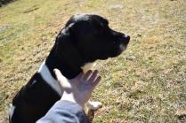 Ludo-Cavador-Banksia Park Puppies - 7 of 41