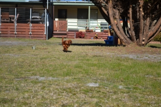 Sheila- Banksia Park Puppies - 30 of 32