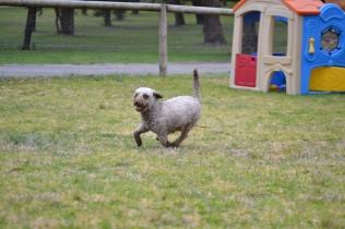 Banksia Park Puppies Fussle - 25 of 43