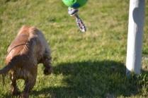 Banksia Park Puppies Jacinta - 17 of 49
