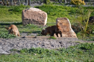 Banksia Park Puppies Jacinta - 2 of 49