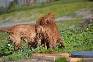 Banksia Park Puppies Jacinta - 20 of 49