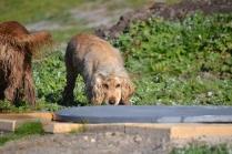 Banksia Park Puppies Jacinta - 21 of 49