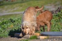Banksia Park Puppies Jacinta - 23 of 49