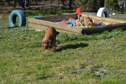 Banksia Park Puppies Jacinta - 31 of 49