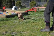Banksia Park Puppies Jacinta - 37 of 49
