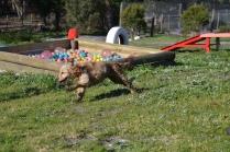 Banksia Park Puppies Jacinta - 39 of 49