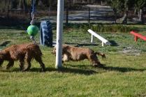 Banksia Park Puppies Jacinta - 41 of 49
