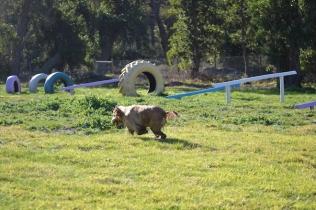 Banksia Park Puppies Jacinta - 43 of 49