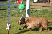 Banksia Park Puppies Jacinta - 47 of 49