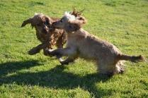 Banksia Park Puppies Jacinta - 6 of 49