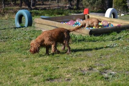 Banksia Park Puppies Jellybean - 54 of 69