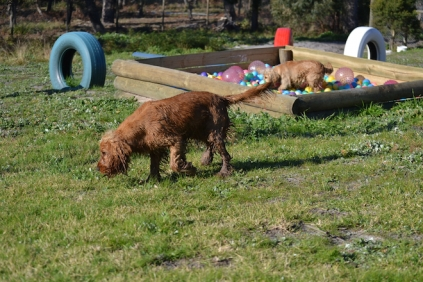 Banksia Park Puppies Jellybean - 54 of 69