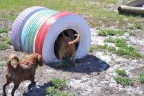 Banksia Park Puppies Odette - 1 of 22 (1)