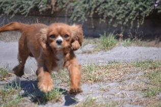 Banksia Park Puppies Odette - 1 of 22 (17)