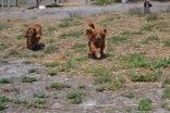 Banksia Park Puppies Odette - 1 of 22 (20)