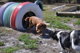 Banksia Park Puppies Odette - 1 of 22 (6)