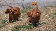 Banksia Park Puppies Odette - 1 of 22 (8)