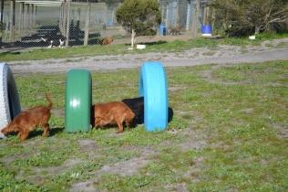 Banksia Park Puppies Odette - 11 of 12