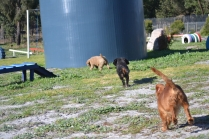 Banksia Park Puppies Ponky - 16 of 36