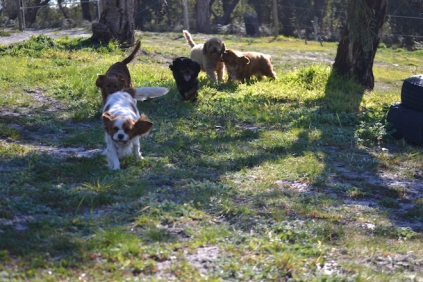 Banksia Park Puppies Ponky - 20 of 36