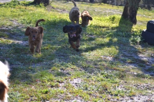 Banksia Park Puppies Ponky - 22 of 36