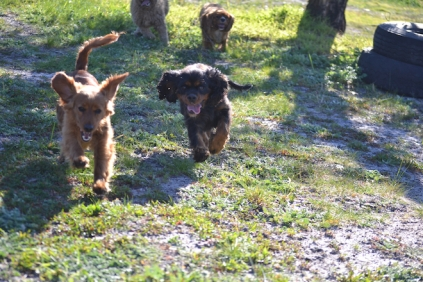 Banksia Park Puppies Ponky - 23 of 36