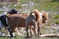 Banksia Park Pupies Kojak - 1 of 5 (2)