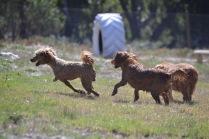 Banksia Park Pupies Kojak - 1 of 5