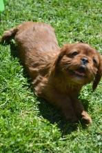 banksia-park-puppies-dana-1-of-14