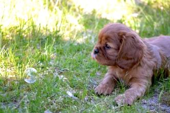 banksia-park-puppies-dana-12-of-14