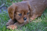 banksia-park-puppies-dana-14-of-14
