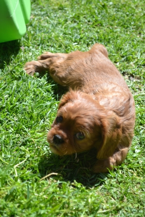 banksia-park-puppies-dana-2-of-14