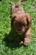 banksia-park-puppies-dana-3-of-14