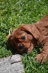 banksia-park-puppies-dana-4-of-14