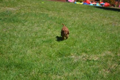 banksia-park-puppies-dana-5-of-14