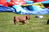 banksia-park-puppies-dana-9-of-14