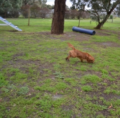 banksia-park-puppies-hailey-13-of-25