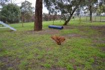 banksia-park-puppies-hailey-15-of-25