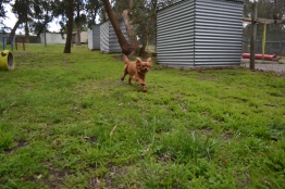 banksia-park-puppies-hailey-8-of-25