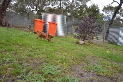 banksia-park-puppies-hannah-1-of-28