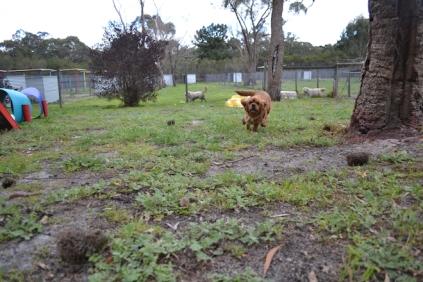 banksia-park-puppies-hannah-19-of-28