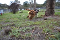 banksia-park-puppies-hannah-20-of-28
